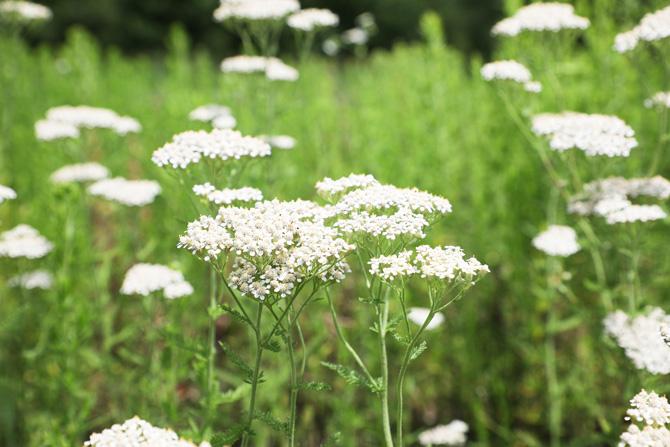 Coada șoricelului (Achillea millefolium) alunele, brădățel, ciureșică, crestățea, crâvalnic, garva, iarba-oilor, iarba-strănutătoare, prisnel, rotoțele-albe, sorocină