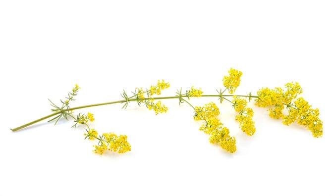 Drăgaica, Sânzienele (Galium) lipicioasa (Galium aparine), numită și asprișoară, cornățel, iarbă-lipitoare, turiță