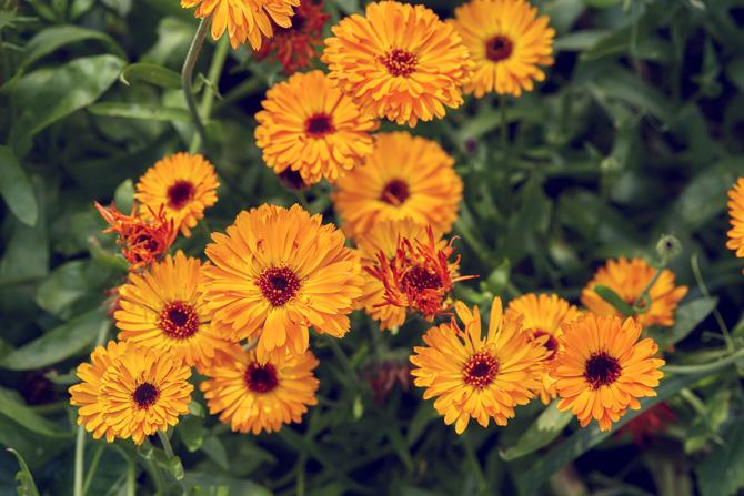 Filimica (Calendula officinalis) calce, căldărușă, coconițe, fetișcă, floare-galbenă, gălbenioare, năcoțele, ochi-galbeni, roșioară, rujinică, salomie, stâncuță, tătăiși, vâzdoage