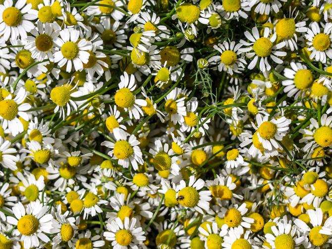 Mușețelul (Matricaria chamomilla) mamoriță, mărariul-câinelui, matricea, morună, mușețel-de-câmp, roman, romaniță, romașcă