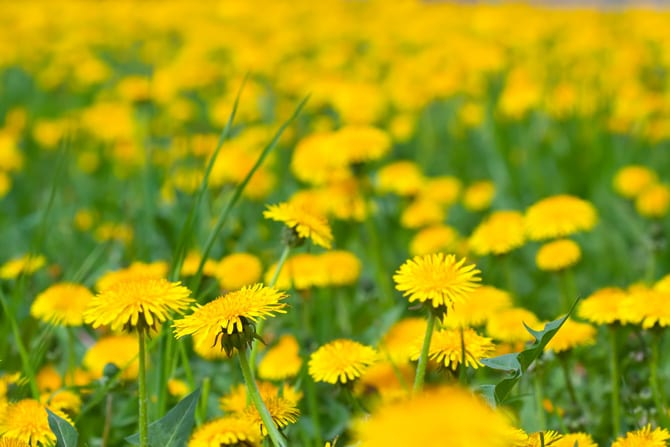 Păpădia (Taraxacum officinale) buhă, cicoare, crestățea, floarea-mălaiului, flori-galbene, lăptucă, lilicea, niparticli, papa-găinii, pui-de-gâscă