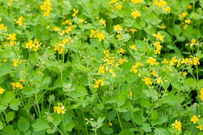 Rostopasca (Chelidonium majus) ai-de-pădure, buruiană-de-cele-sfinte, buruiană-de-pecingine, buruiene-sfinte, calce-mare, crucea-voinicului, gălbinele, iarbă-de-negi, iarba-rândunicii, lăptiugă, negelariță, oiască, paparună, sălățea, scânteiță, tătărcele