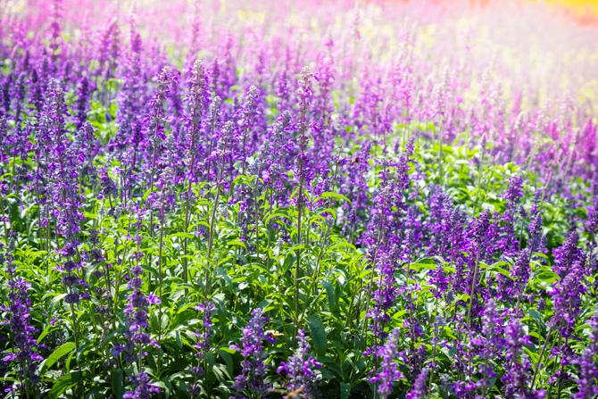 Salvia, Jaleșul (Salvia officinalis) cilvie, jale, jaleș, jaleș-bun, jaleș-de-grădină, salvie, salvie-de-grădină, șalet, șalvir, șerlai. Salvia, cunoscută ca o plantă din familia labiatelor, provine din Europa de sud și se cultivă la noi în grădini.