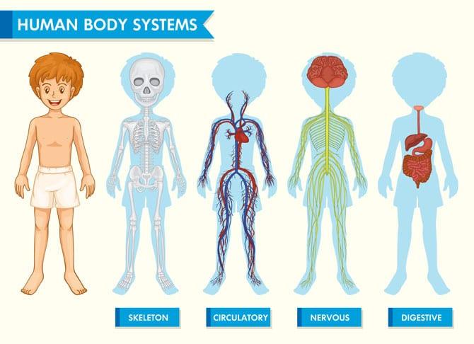 Țesuturi, organe, sisteme, aparate
