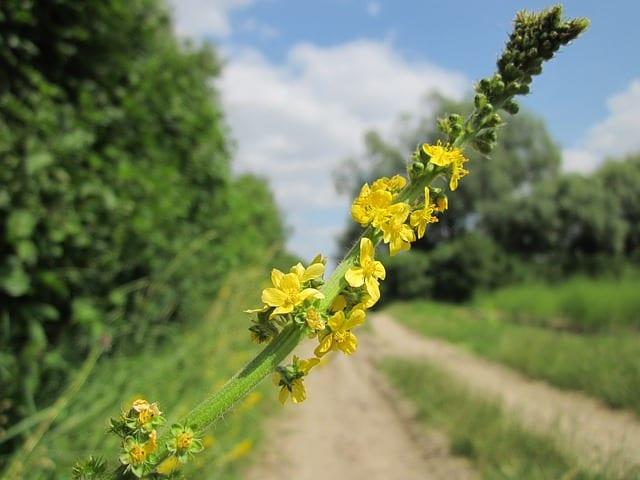 Turița mare (Agrimonia eupatoria)