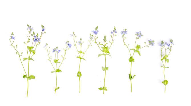 Ventrilica (Veronica officinalis)