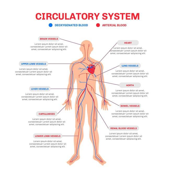 Structura și funcțiile aparatului circulator