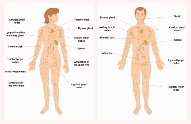 Țesutul limfatic