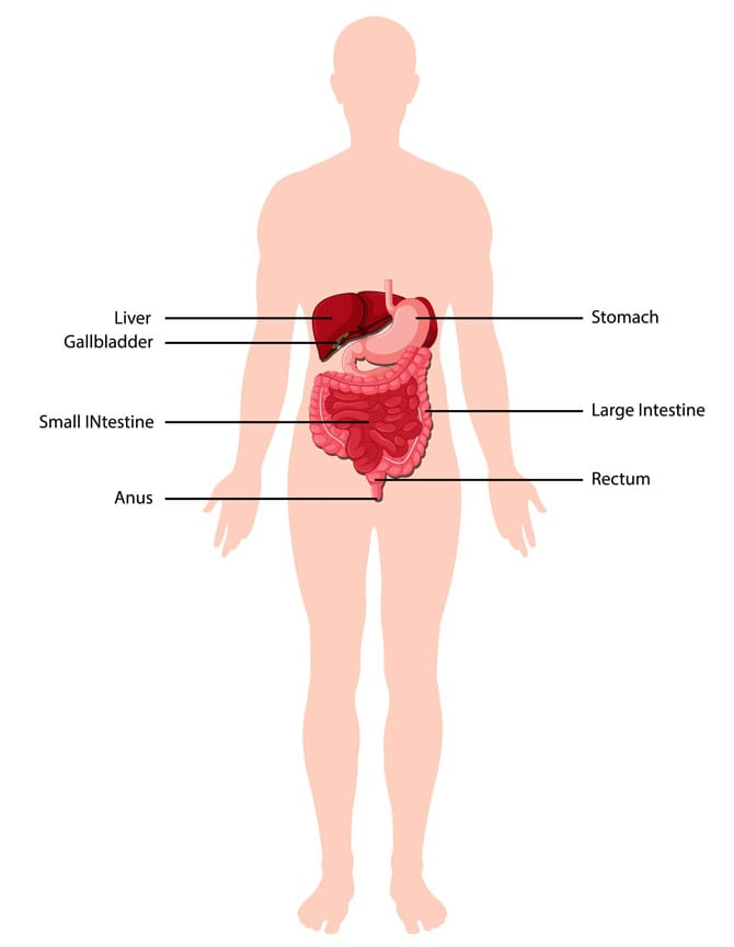Aparatul digestiv