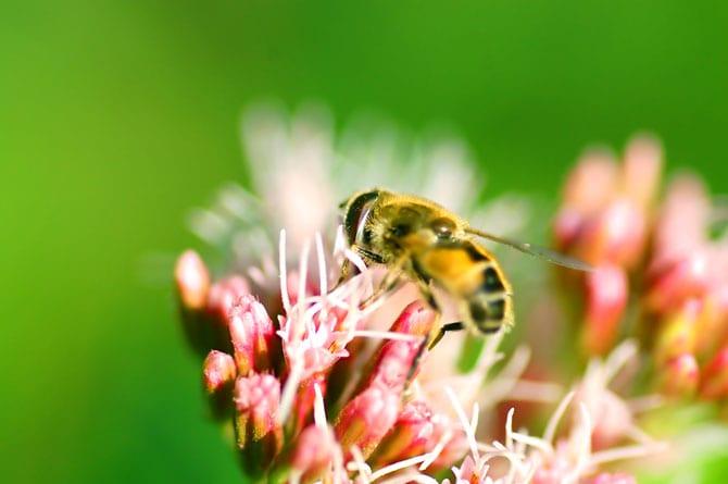 Ce este Veninul de albine
