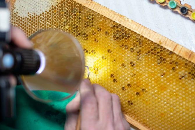 Lăptișorul de matcă, un produs superconcentrat