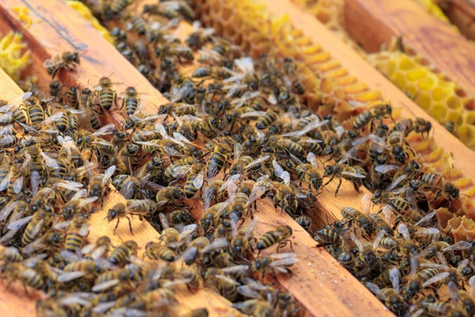 Nectarul, mana și mierea